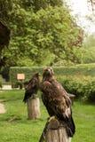 哈里斯的鹰 免版税库存图片