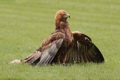 哈里斯的鹰 免版税图库摄影