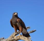 哈里斯鹰在图森,亚利桑那 免版税库存图片