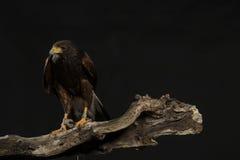 哈里斯鹰坐分支 免版税库存照片