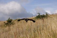 哈里斯鹰狩猎 库存照片