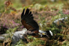 哈里斯鹰狩猎 免版税库存图片