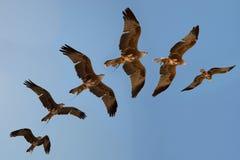 哈里斯鹰的飞行序列 图库摄影