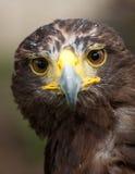 哈里斯鹰纵向 免版税库存照片