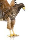 哈里斯鹰 免版税库存图片