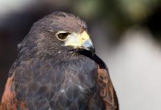哈里斯鹰 免版税库存照片