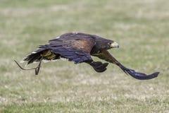 哈里斯` s鹰飞行快速的低落的Parabutea unicinctus到grou 免版税库存照片