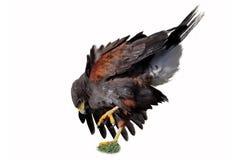 哈里斯s鹰(Parabuteo unicinctus) 库存图片