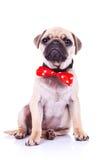 哈巴狗与红色bowtie的小狗 免版税库存照片