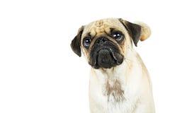 哈巴狗与Pouty的狗特写镜头面对 库存照片