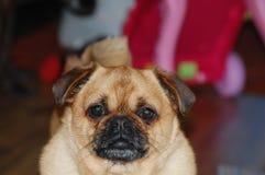 哈巴狗十字架laso-apso的宠物画象 免版税库存照片