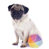 年轻哈巴狗和球 库存图片