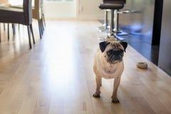 哈巴狗在家 库存照片