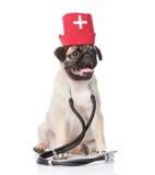 哈巴狗小狗佩带的护士医疗帽子和听诊器 查出在白色 库存照片