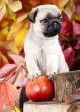 哈巴狗小狗和红色aplle 免版税库存图片