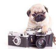 哈巴狗小狗纯血统的动物 库存照片