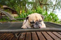 哈巴狗放松在海滩睡椅的狗睡眠 免版税库存图片