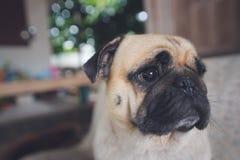 哈巴狗狗注视滑稽顶头的看起来 库存照片