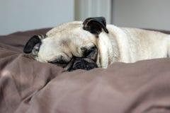 哈巴狗狗睡着在床上 免版税库存图片