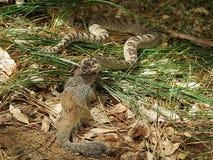 响尾蛇发现午餐 库存照片