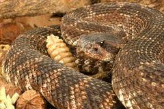 响尾蛇恶劣环境测井和平的响尾蛇南部的viridis 库存图片