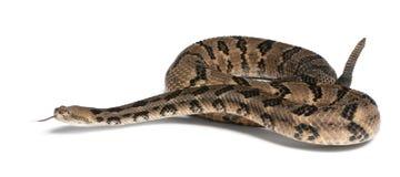 响尾蛇木材 免版税库存照片