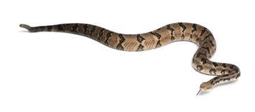 响尾蛇木材 免版税库存图片