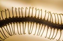 响尾蛇的骨骼 免版税库存照片