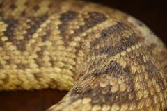 响尾蛇背景 免版税库存照片