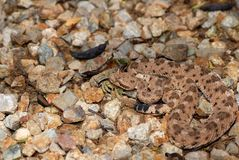 响尾蛇角蝰蛇cercobombus 库存照片
