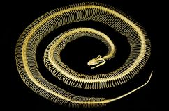 响尾蛇骨骼 免版税库存图片