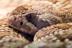 响尾蛇 免版税图库摄影