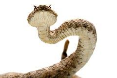响尾蛇 图库摄影