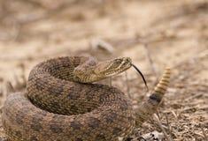 响尾蛇 免版税库存照片