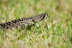 响尾蛇adamanteus 免版税库存图片