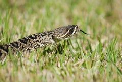 响尾蛇adamanteus 免版税图库摄影