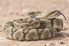 响尾蛇molossus是在西南美国和墨西哥找到的一个有毒坑蛇蝎种类 宏观画象 免版税库存照片