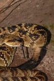 响尾蛇molossus 免版税库存图片