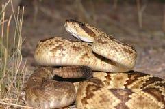 响尾蛇molossus 免版税库存照片