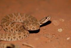 响尾蛇oreganus concolor 图库摄影