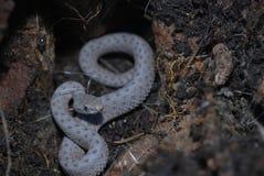 响尾蛇pricei 库存照片