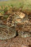 响尾蛇scutulatus 库存图片