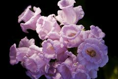 响铃桃红色花美好的背景 图库摄影
