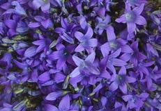 响铃特写镜头淡紫色自然宏观特写镜头开花的瓣夏天秀丽绿色绽放紫罗兰色植物群花卉淡紫色花purpl 库存照片