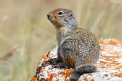 哥伦比亚地松鼠-沃特顿湖国家公园 免版税库存图片