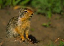 哥伦比亚地松鼠 库存图片