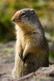 哥伦比亚地松鼠 图库摄影