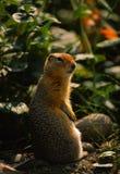 哥伦比亚地松鼠 库存照片