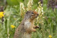哥伦比亚地松鼠 免版税图库摄影