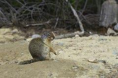 哥伦比亚地松鼠 免版税库存照片